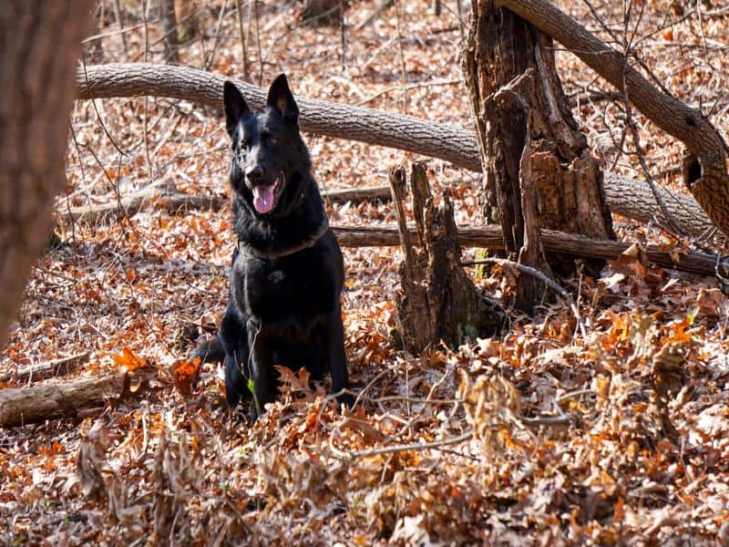search and rescue dog trainer course