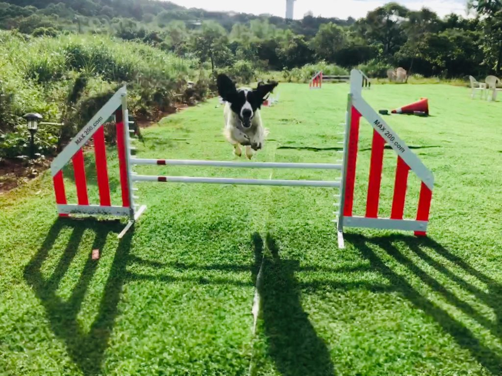 dog doing agility jump
