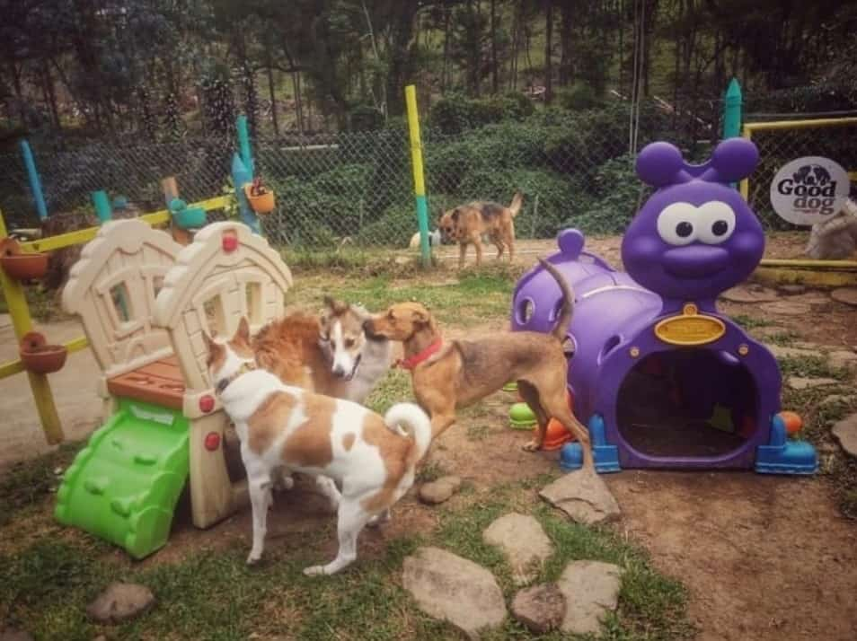 dogs playing at good dog facility