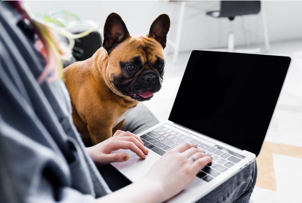 bulldog looking at laptop